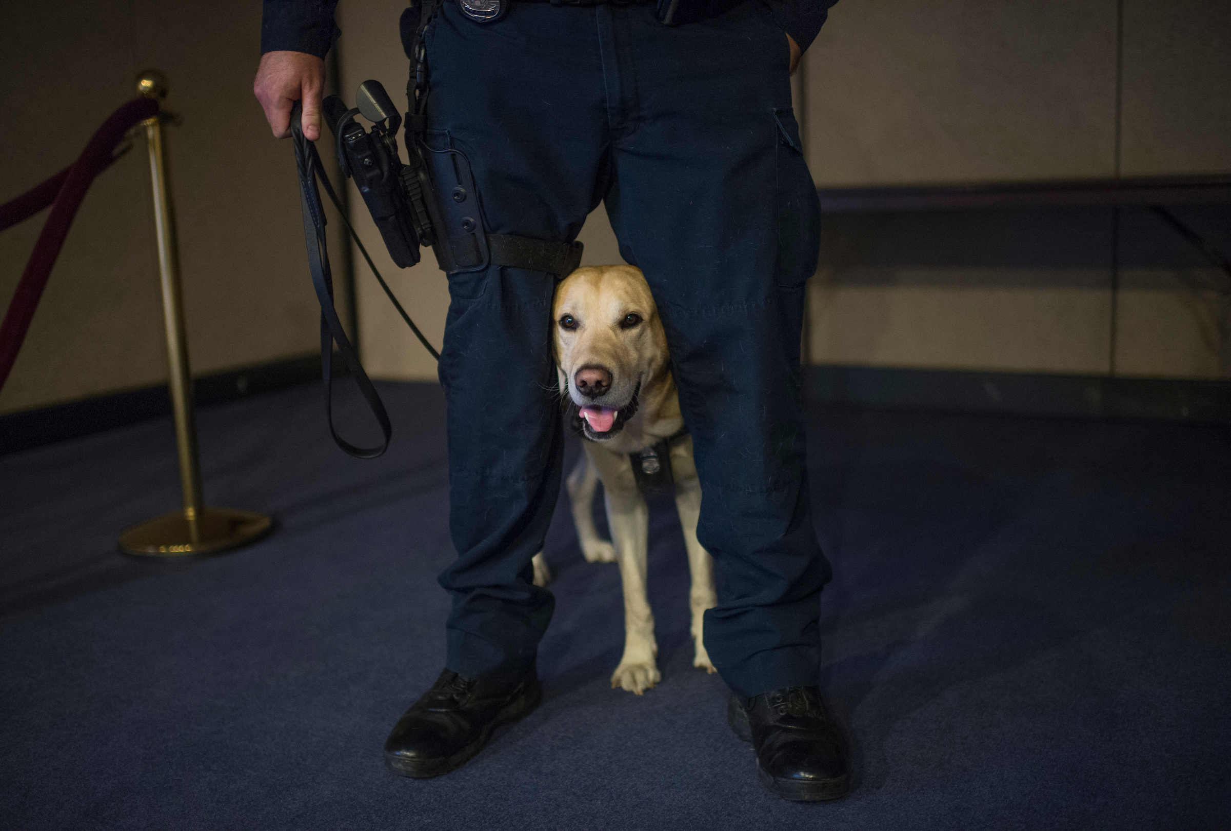 Ladley, of the Amtrak K-9 explosive detection team, prepares for an explosive detection demonstration Wednesday at a Senate Commerce Committee markup of legislation known as the Surface Transportation and Maritime Security Act. (Tom WIlliams/CQ Roll Call)