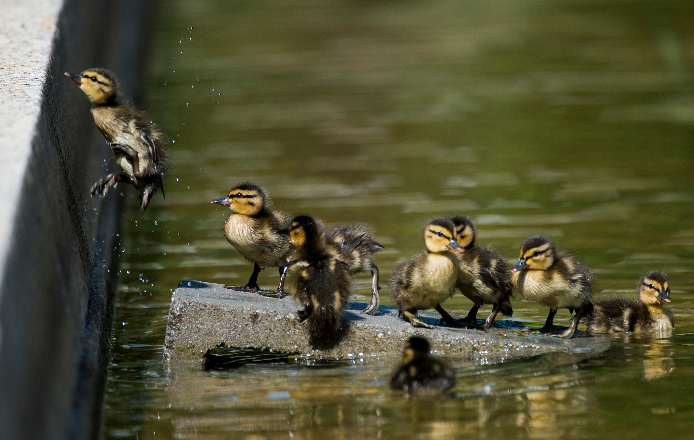 Two-day old ducklings try to leap out of the Lower Senate Park reflecting pool on the U.S. Capitol grounds to reach their mother on Thursday, May 14, 2015. The ten ducklings swam in the pool and walked across the plaza trying to keep up with their mother. (Bill Clark/CQ Roll Call)