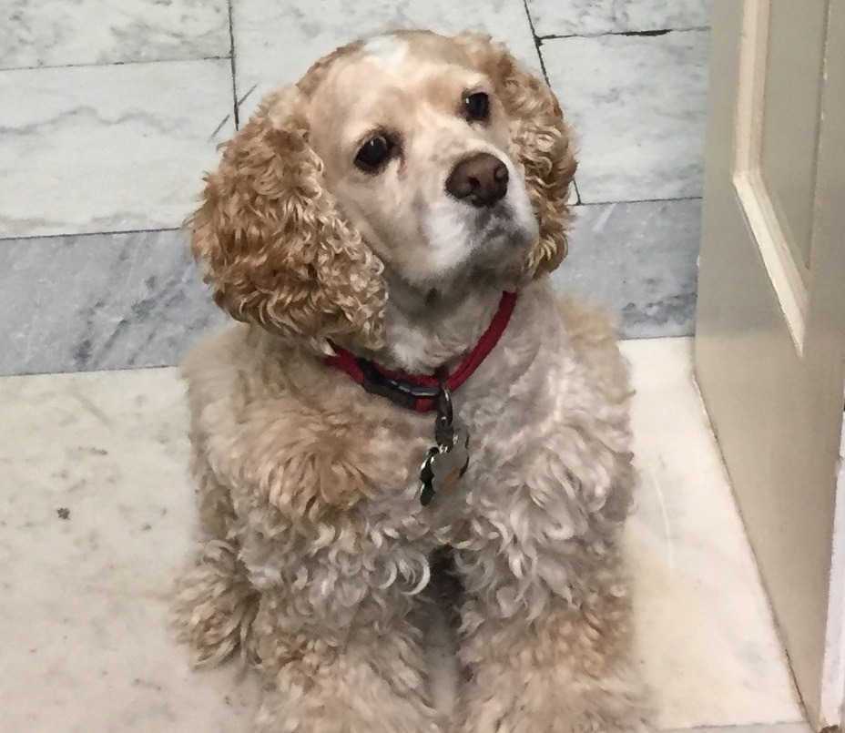 Oliver, a 10-year-old Cocker Spaniel, has been a regular in Rep. Jim Bridenstine's office since his first term in 2013. (Courtesy of Bridenstine's office)