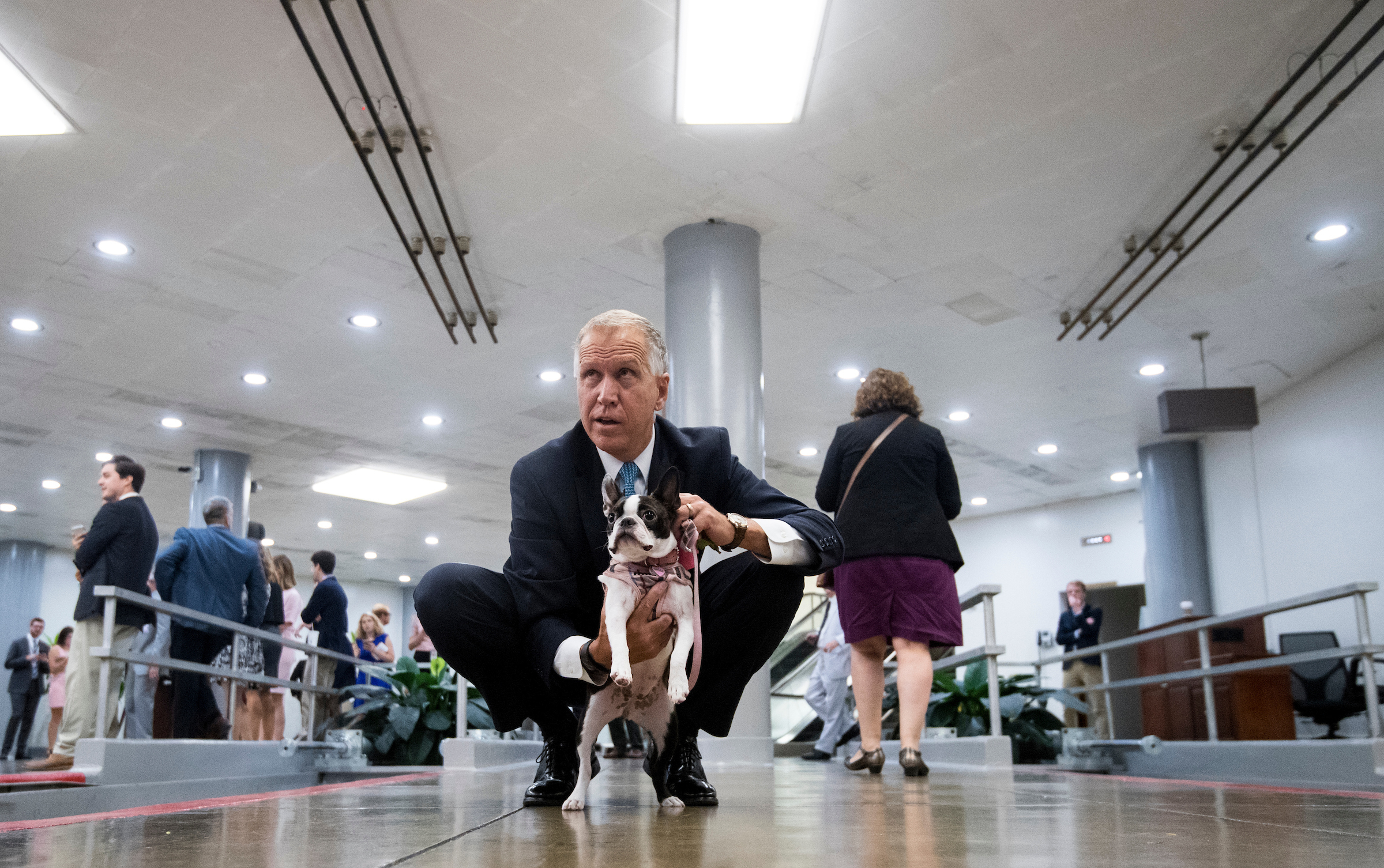 "Sen. Thom Tillis, R-N.C., campaigns for votes for his boston terrier ""Tilly"" in the cutest dog on the hill contest in the Senate subway following a vote on Wednesday. (Bill Clark/CQ Roll Call)"