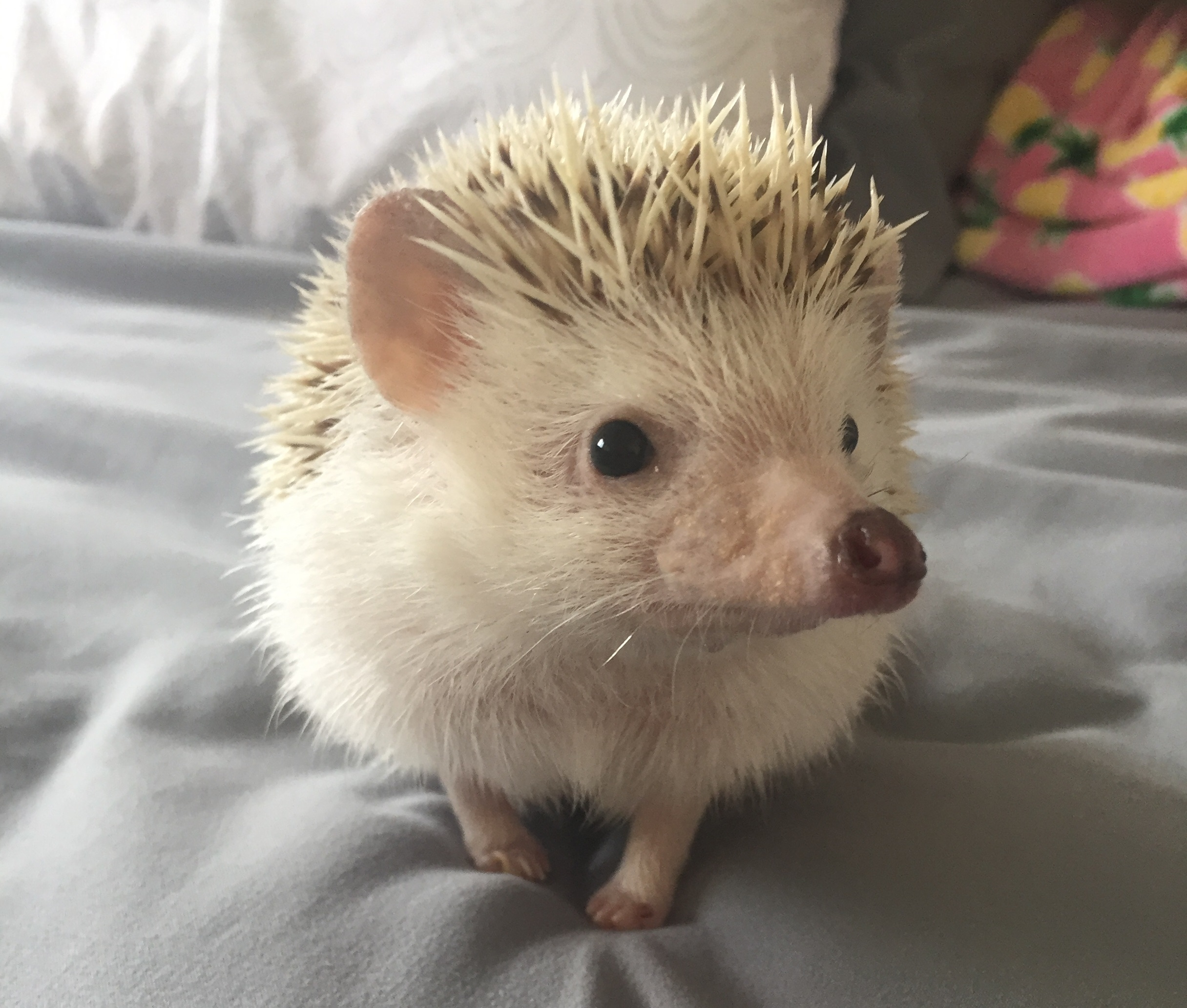 Pickles the hedgehog won cutest exotic pet. (Courtesy