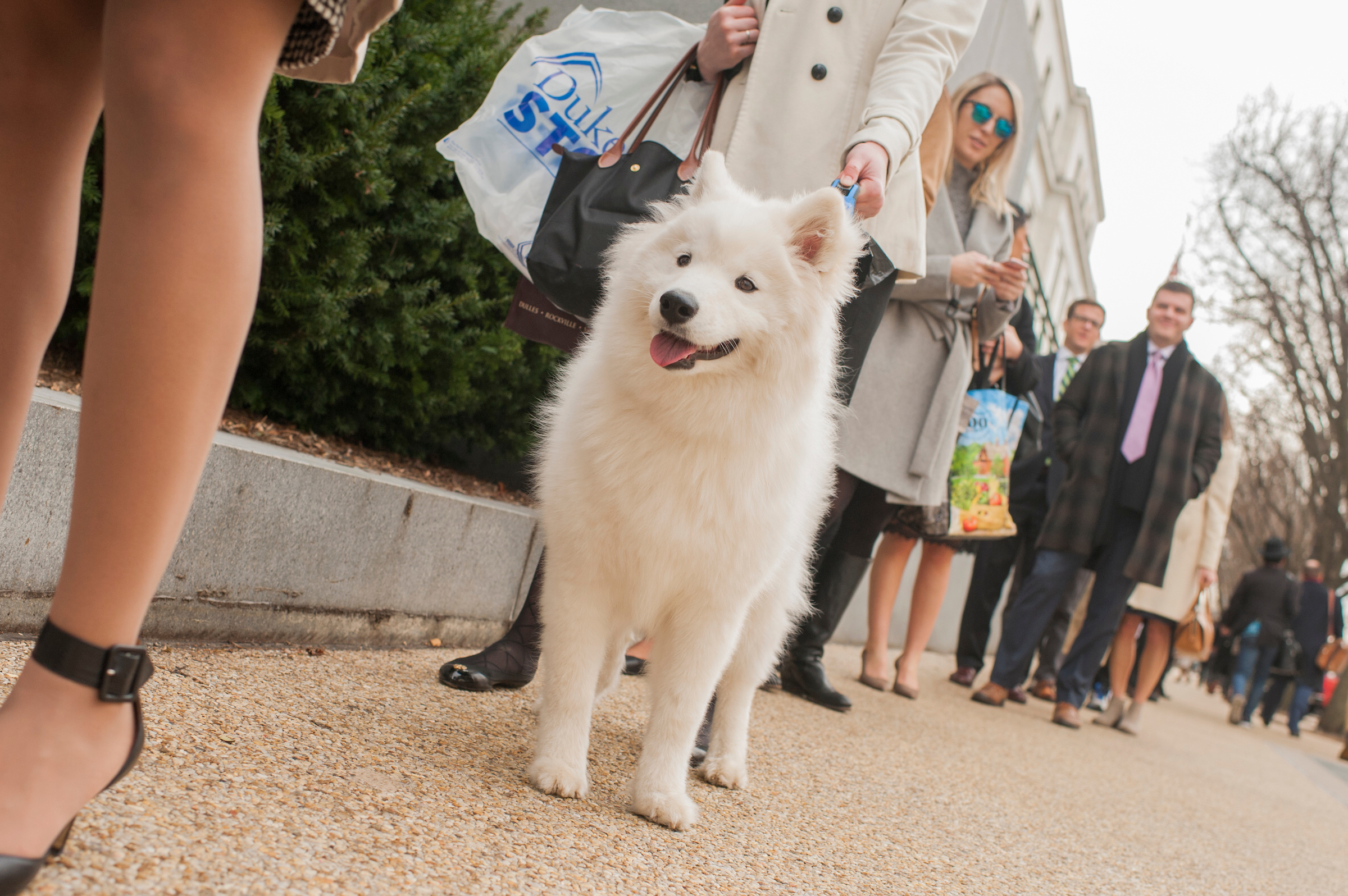 UNITED STATES - JANUARY 22: Pippen, a Samoyed, Hill staffers and others wait in a long line to enter Dirksen Building as only certain doors to the Senate office buildings were open while Congress works to end the government shutdown on January 22, 2018. (Photo By Tom Williams/CQ Roll Call)