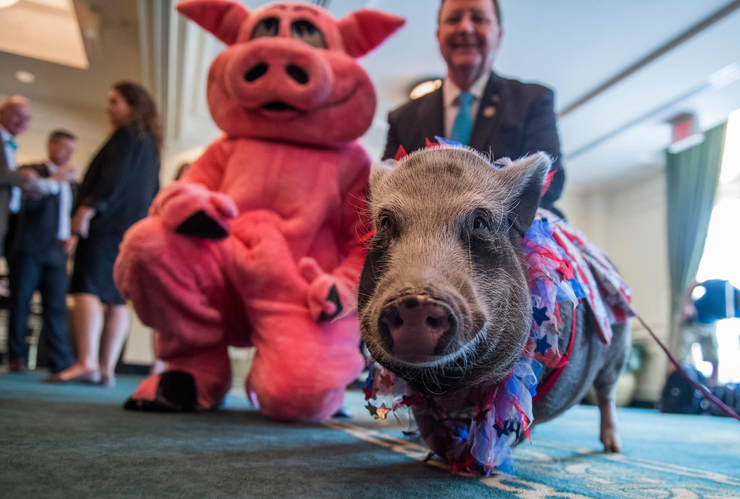 UNITED STATES - JULY 19: Rep. Bill Flores, R-Texas, poses with Faye, a pot belly pig, after a news conference held by Citizens Against Government Waste at the Phoenix Park Hotel to release the 2017 Congressional Pig Book which identifies pork-barrel spending in Congress on July 19, 2017. (Photo By Tom Williams/CQ Roll Call)