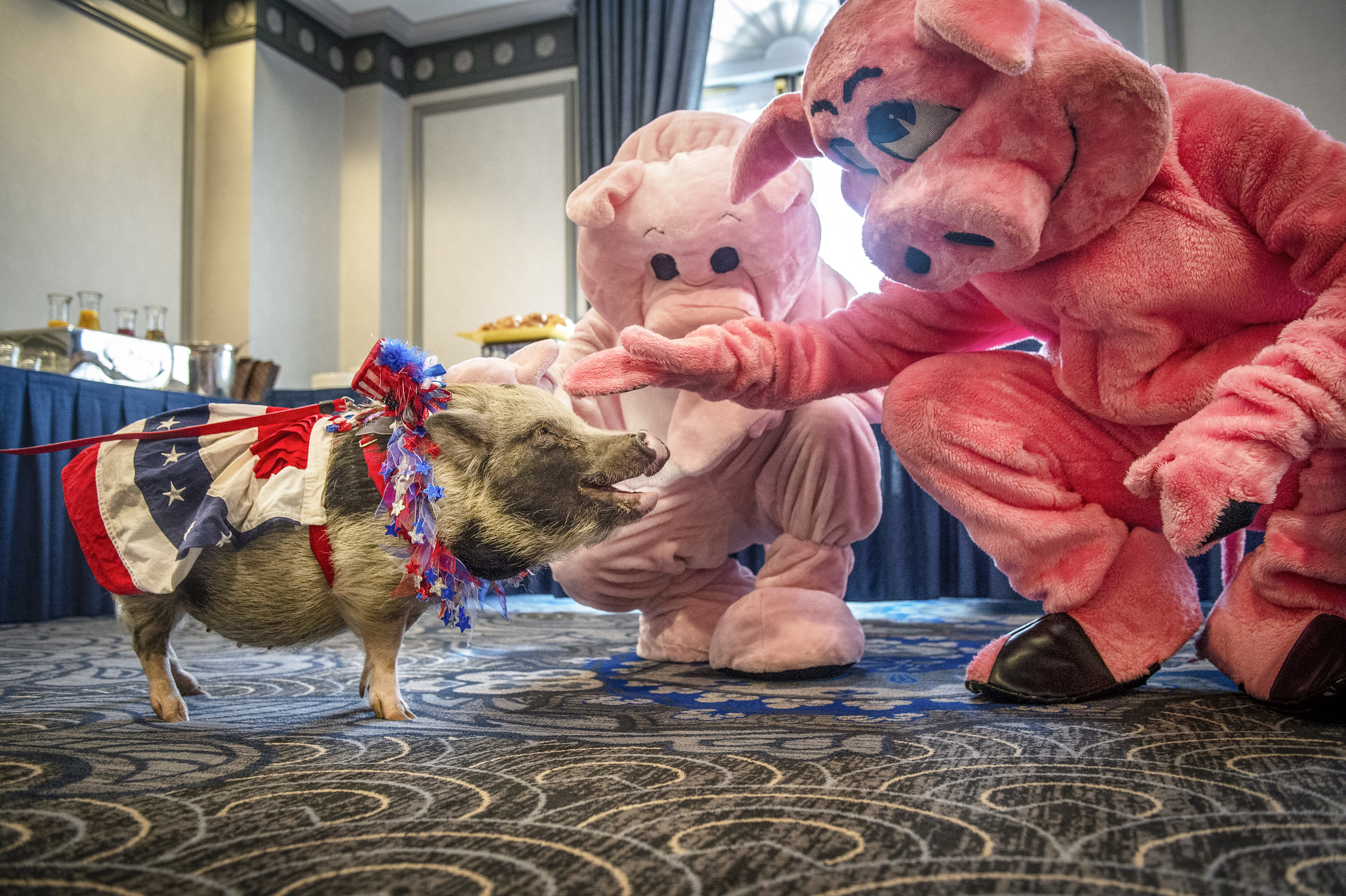 UNITED STATES - JUNE 12: Two men dressed up in pig costumes pet Faye the pig before the start of the Citizens Against Government Waste press conference to release the 2019 Congressional Pig Book report on pork spending at the Phoenix Park Hotel in Washington on Wednesday June 12, 2019. (Photo by Caroline Brehman/CQ Roll Call)